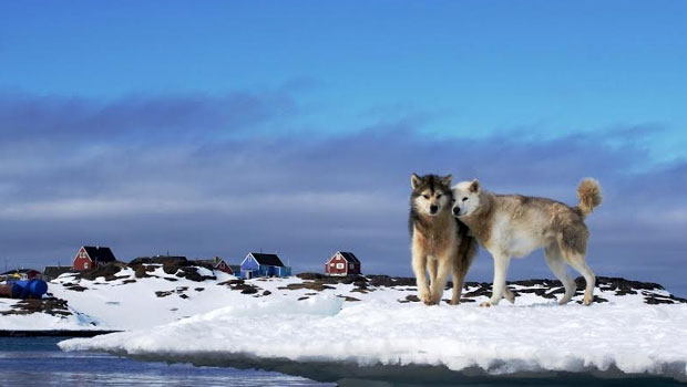 greenland-dogs
