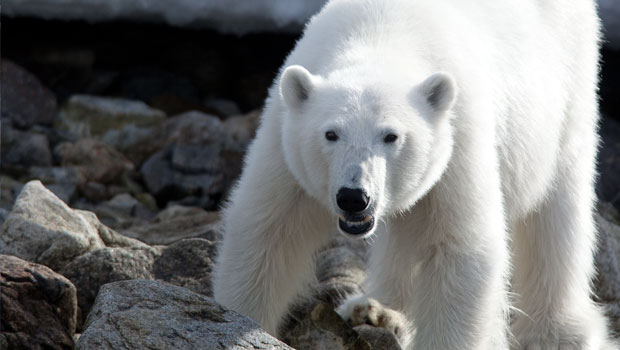 meet-polar-bear-in-svalbard