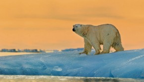polar-bear-at-sunset