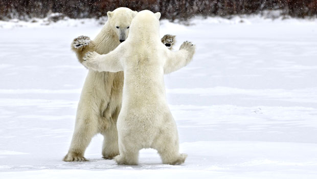 polar-bears-battle